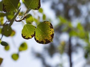 Las hojas de un álamo enfermas