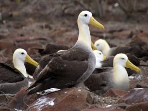 Albatros de las Galápagos