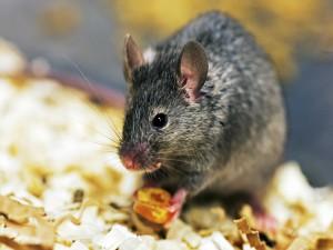 Ratón con una semilla entre sus patas delanteras