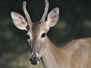 Un joven ciervo