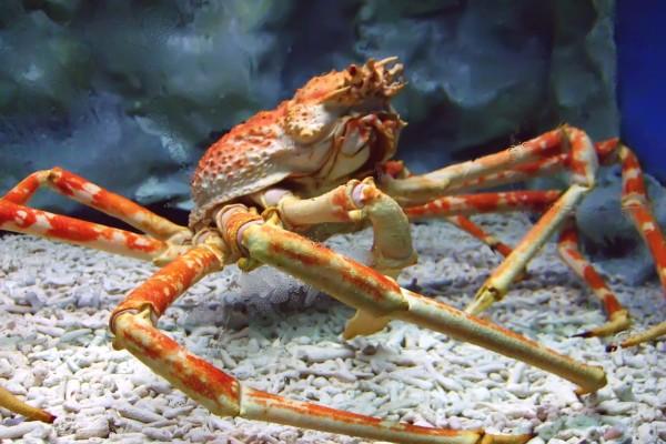 Cangrejo araña en un acuario