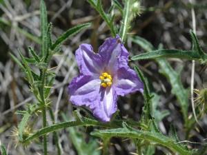 Flor de solanum