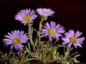 Flores de color lila en un fondo negro