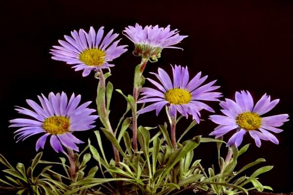 Flores De Color Lila En Un Fondo Negro 64185