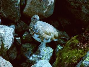 Perdiz nival sobre unas piedras
