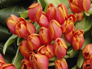 Tulipanes naranjas recién cortados