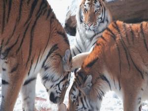 Tigres en la nieve