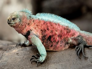 Iguana de varios colores