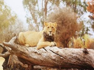 Joven león tumbado en un tronco