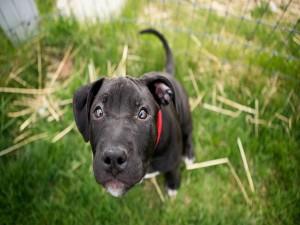 Perro negro mirando a la cámara
