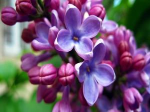 Las pequeñas flores de una lila