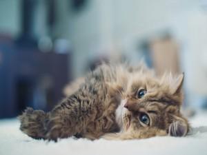 Gato tumbado sobre una alfombra blanca