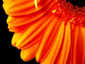 Pétalos de una gerbera naranja