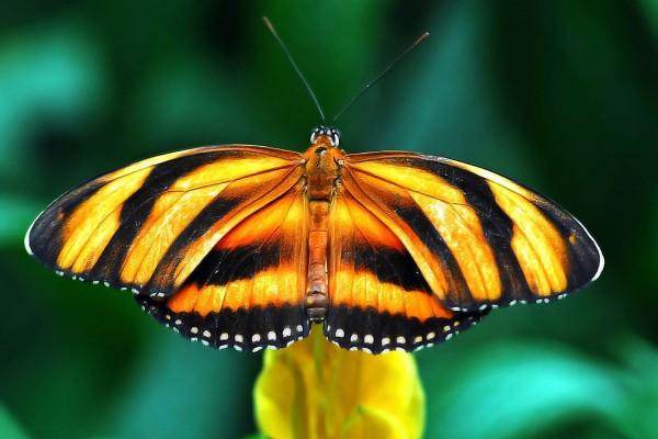 Una bonita mariposa atigrada