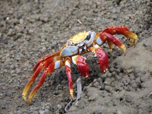 Un bonito cangrejo caminando