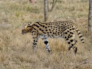 Un serval caminando