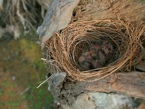 Pájaros recién nacidos en el nido