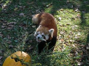 Panda rojo en un jardín