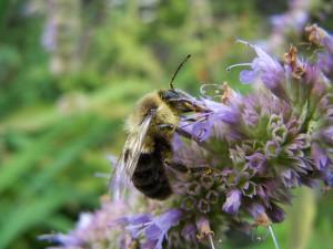 Polen sobre una abeja recolectora