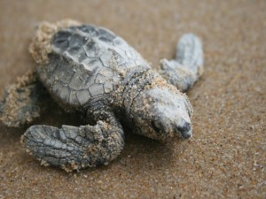 Pequeña tortuga marina caminando sobre la arena