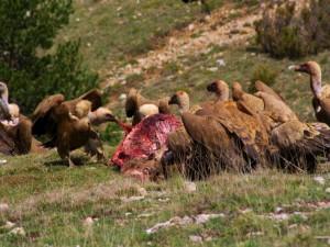 Buitres leonados comiendo
