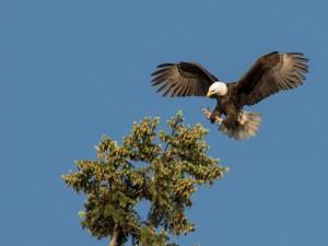 Águila posándose en lo alto de un pino