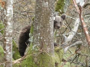 Oso pardo sobre las ramas de un árbol