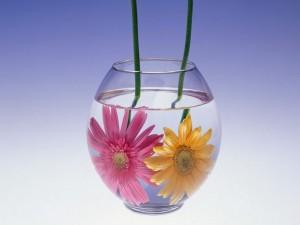 Gerberas amarilla y rosa dentro de una pecera con agua