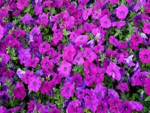Varias petunias de color púrpura
