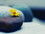 Margarita sin tallo sobre una piedra