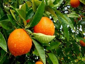 Naranjo cubierto de agua y naranjas