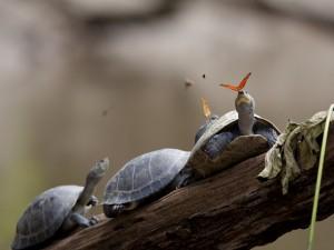 Mariposas posadas en las cabezas de unas tortugas