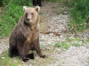 Un oso pardo sentado