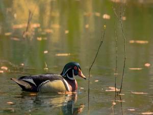 Bonito pato en el agua
