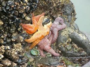 Estrellas de mar pegadas a una roca al bajar la marea