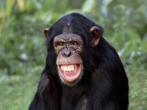 Un simpático chimpancé