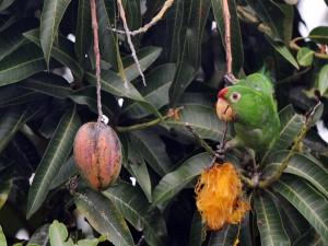 Loro en un árbol frutal