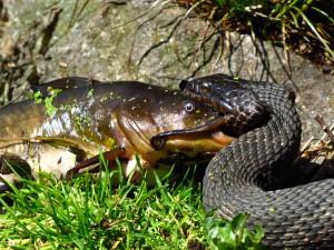 Serpiente comiéndose un pez
