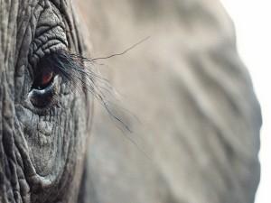 El ojo de un elefante