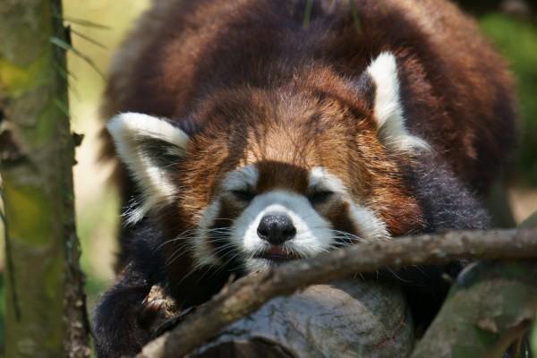 Panda rojo adormilado en una rama