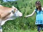 Niña dando comida a una vaca