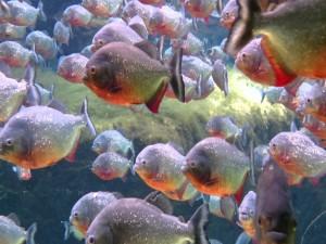 Pirañas en un acuario