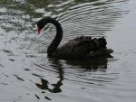 Un cisne negro