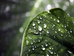 Gotas de agua sobre una gran hoja verde