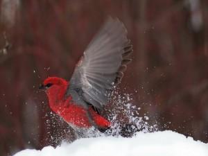 Un pájaro rojo batiendo sus alas sobre la nieve