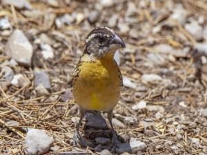 Pájaro de pecho amarillo