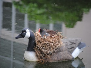 Patito en un nido sobre un pato artificial