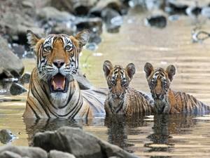 Cachorros de tigre dándose un baño junto a su madre