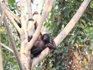 Bonobo tumbado entre las ramas de un árbol