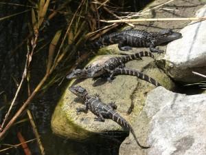 Pequeños caimanes sobre una roca
